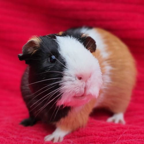 Cookie - Guinea Pig