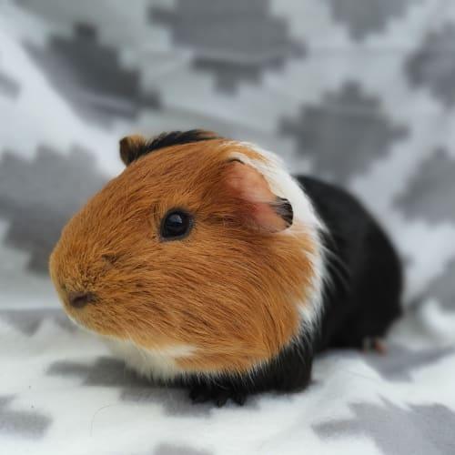 Biscuit - Guinea Pig