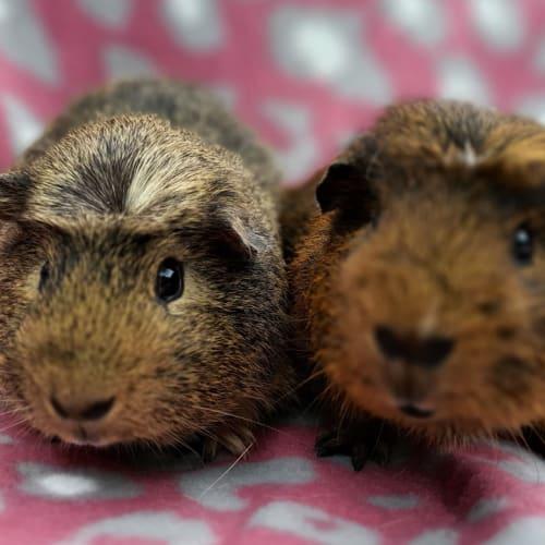 Beaver and Jack - Guinea Pig