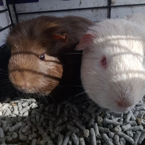 Leonardo and Luka - Smooth Hair Guinea Pig
