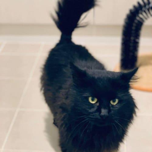 3207 - Elroy - Domestic Medium Hair Cat