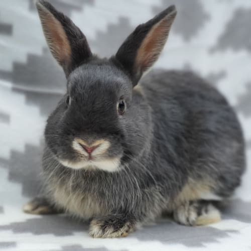 Angus - Netherland Dwarf Rabbit