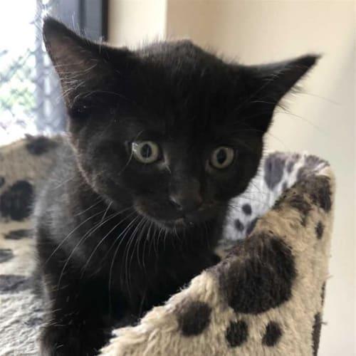 Inky  - Domestic Short Hair Cat