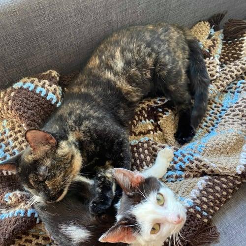 Heidi (& Bobbi) - Domestic Short Hair Cat
