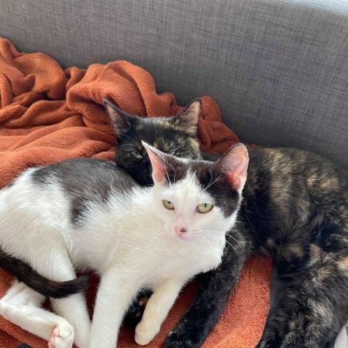 Bobbi (& Heidi) - Domestic Short Hair Cat