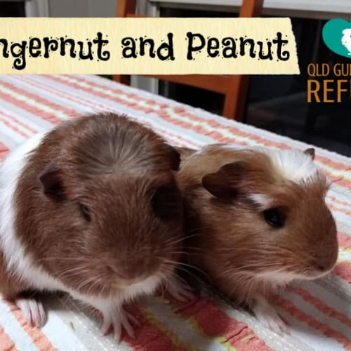 Gingernut and Peanut (unsuitable for children) - Smooth Hair x Crested Guinea Pig