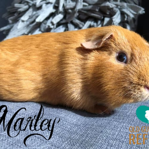 Marley - Smooth Hair Guinea Pig