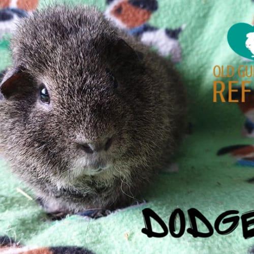 Dodger - Rex Guinea Pig