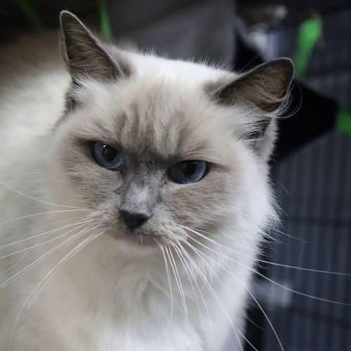 Amelia - Birman Cat