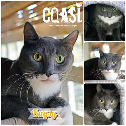 Bugsy - Russian Blue Cat
