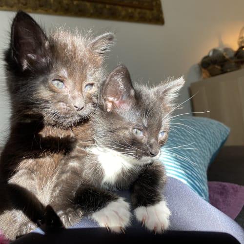 Daisy & Poppy - Domestic Medium Hair Cat