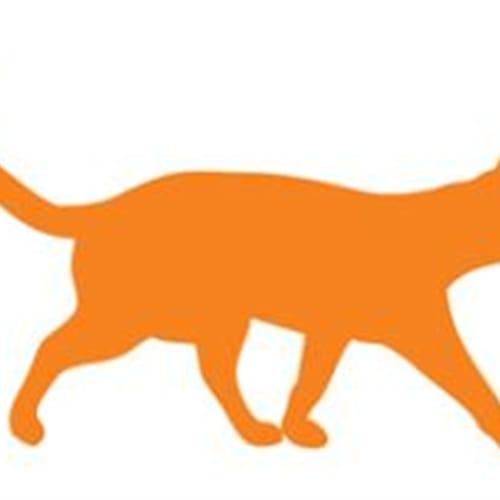 Choco - Domestic Short Hair Cat