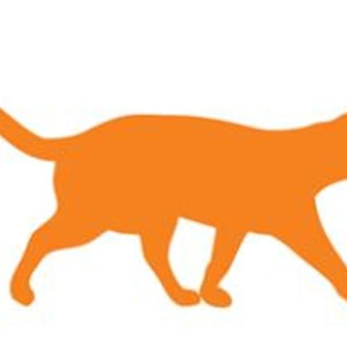 Agera - Domestic Short Hair Cat