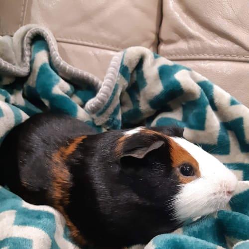 Elvis  - Guinea Pig