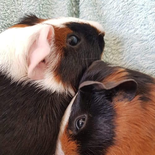 Rookie and Sargent - Guinea Pig