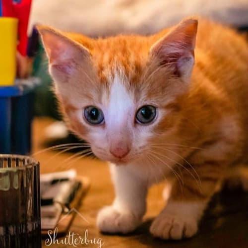 Cupcake ~ beautiful ginger kitten - Domestic Short Hair Cat