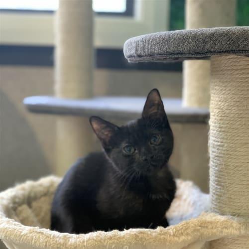 Artemis - Domestic Short Hair Cat