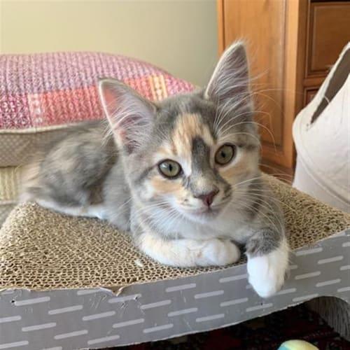 Rosemary - Domestic Medium Hair Cat