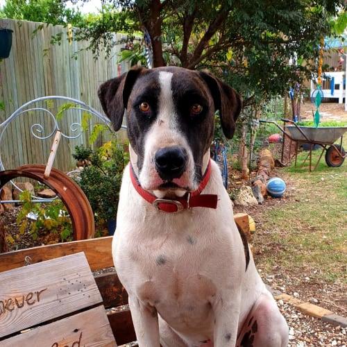 Harley - Bull Arab Dog