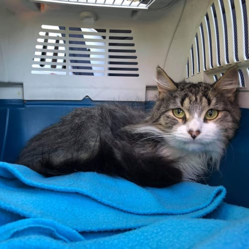 Penny - Domestic Long Hair Cat