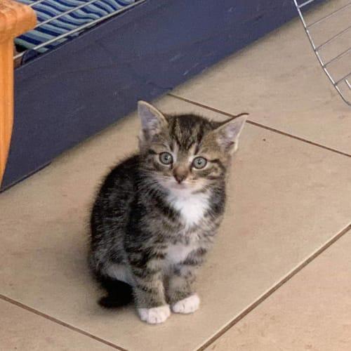 Demi  CT20-177 - Domestic Short Hair Cat