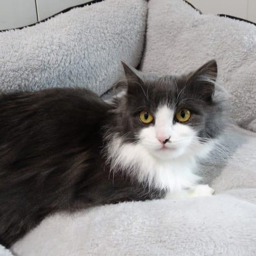 Callie - Domestic Medium Hair Cat