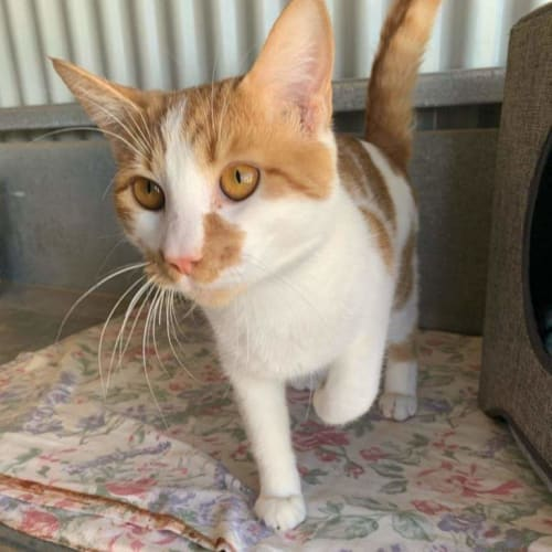 Harry  CT20-168 - Domestic Short Hair Cat