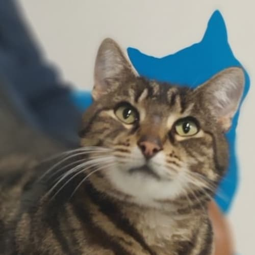 Chandler - Domestic Short Hair Cat