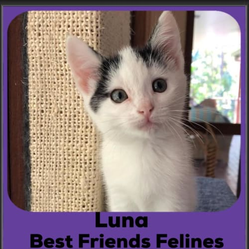 Luna  - Domestic Short Hair Cat