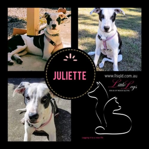 Juliette - Border Collie x Mixed Breed Dog