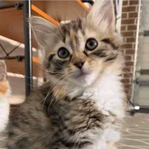 Willow 💐  - Domestic Medium Hair Cat