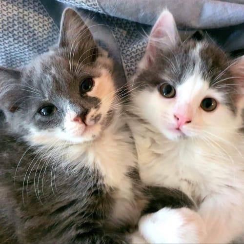 Jazzie & Evie - Domestic Medium Hair Cat