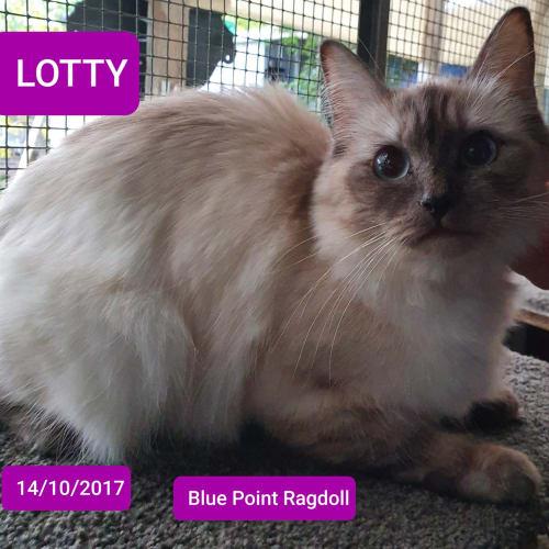 Lotty - Ragdoll Cat