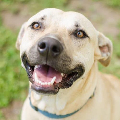 Duke - Mastiff Dog