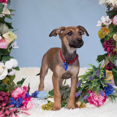 Mabel ~ beautiful Koolie x German Shepherd puppy - Koolie x German Shepherd Dog