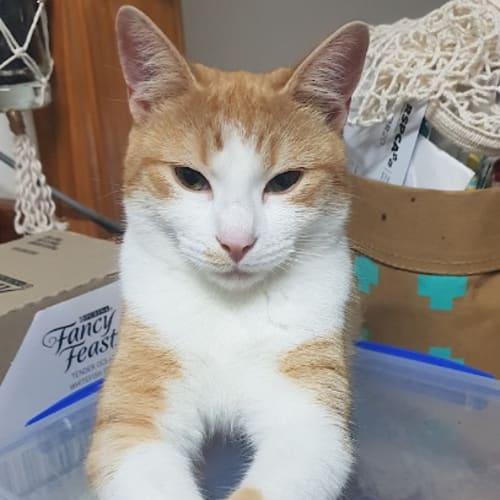 Agnes - Domestic Short Hair Cat