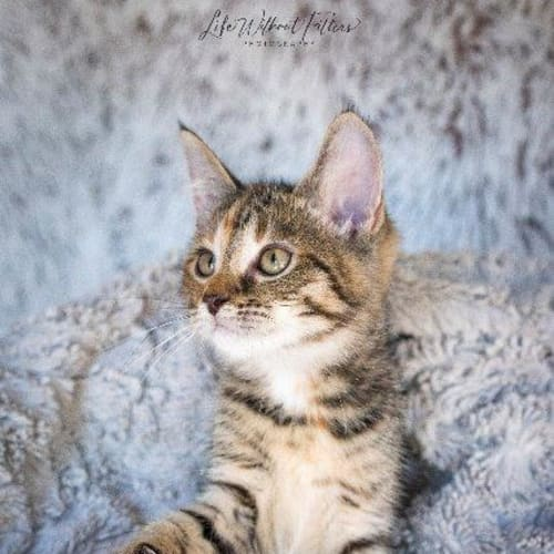 Carina - Domestic Short Hair Cat