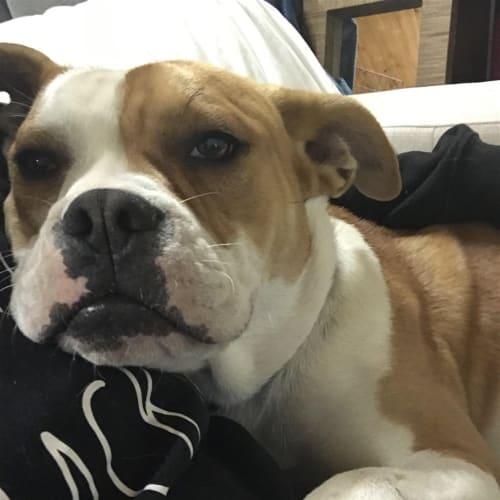 Topaz - Johnson Bulldog x American Staffordshire Bull Terrier Dog
