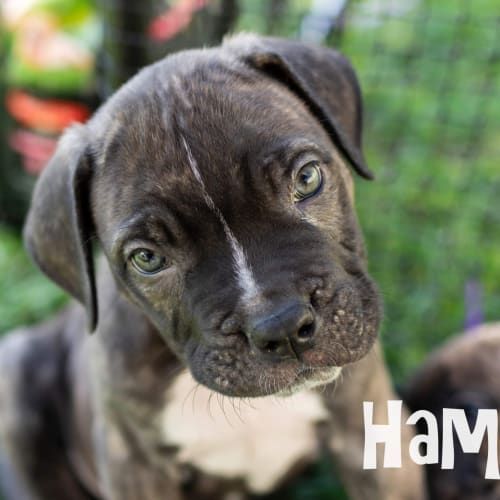 Hamish - Mastiff Dog