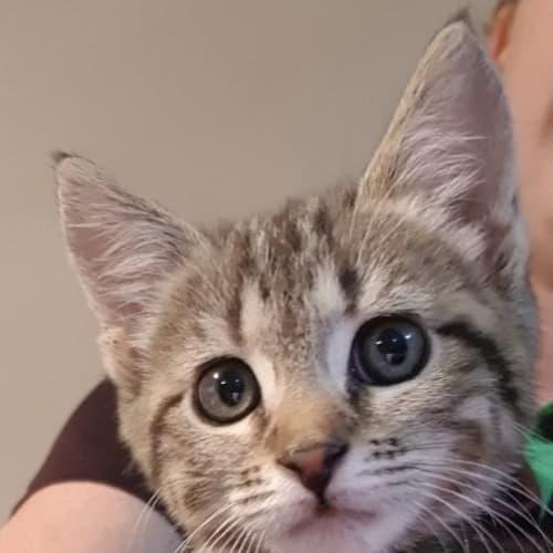 Burrito - Domestic Short Hair Cat