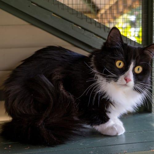 Millie - Ragdoll Cat
