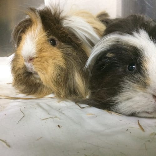 Berry and Bubbles - Peruvian Guinea Pig