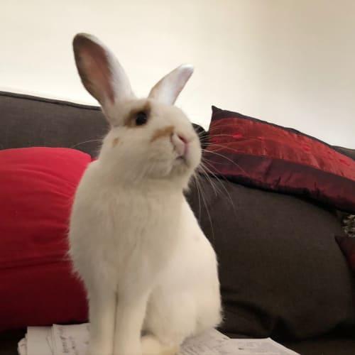 Timmy - Domestic x Dwarf x Netherland Dwarf Rabbit