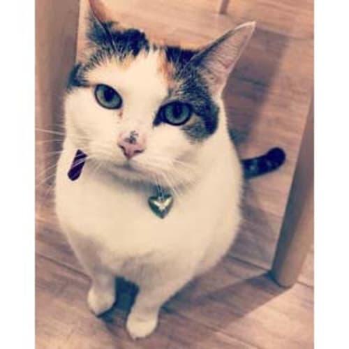 Gina ~ beautiful 6yo cat - Domestic Short Hair Cat