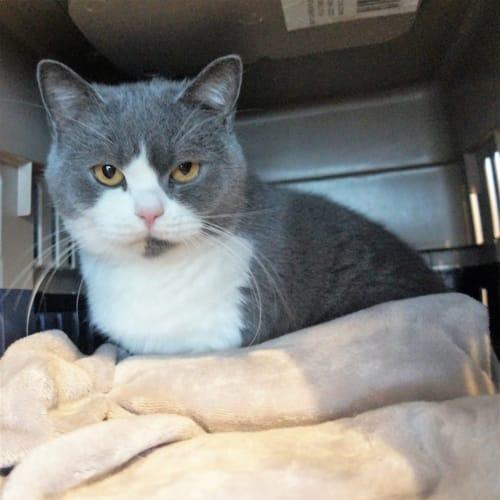 Sally - British Shorthair Cat