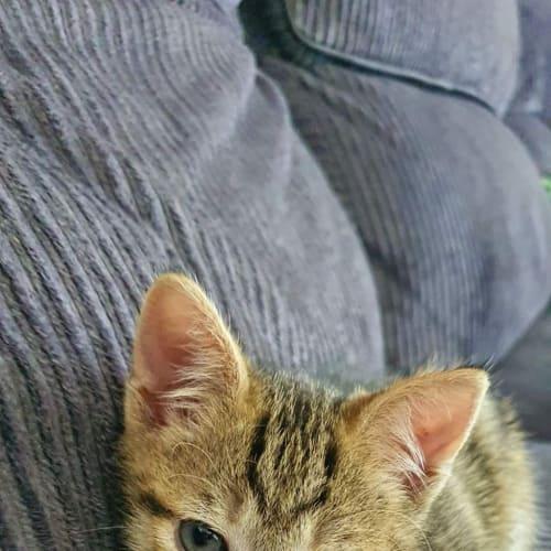 Malty - Domestic Short Hair Cat