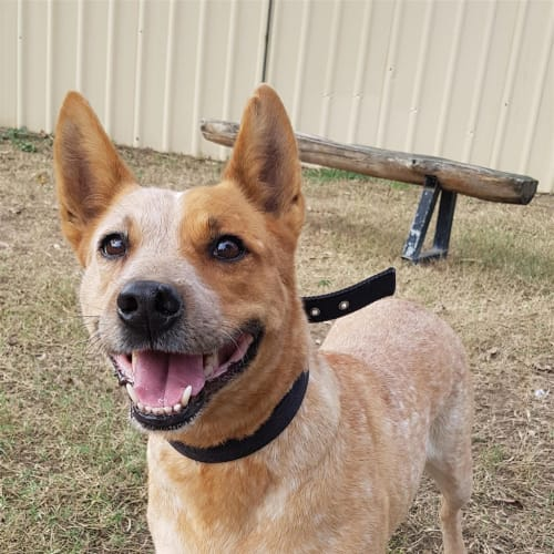 Chikah - Australian Stumpy Tail Cattle Dog