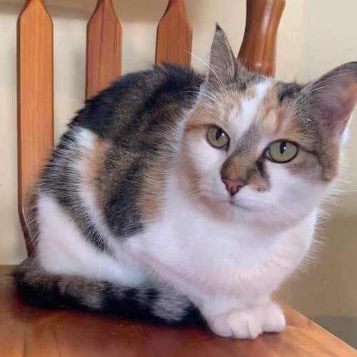 Ella - Domestic Short Hair Cat