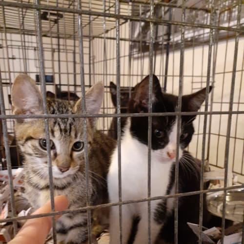 Jingles and Jangles - Domestic Short Hair Cat