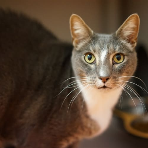 Mystery Man - Domestic Short Hair Cat